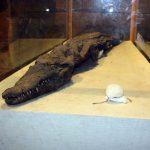Mumifiziertes Krokodil