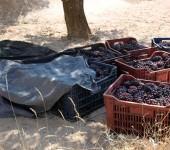 Traubenernte in Kappadokien