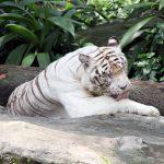 Weißer Tiger im Singapur Zoo