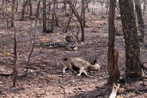 Ranthambore - Tiger